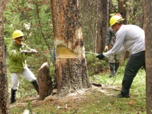 Crosscut saw tree felling.